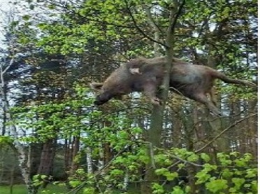 Martwy dzik na drzewie!- FOTO