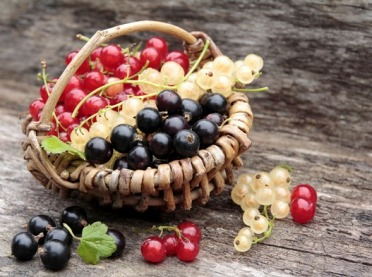 Białe, czerwone, czarne... o właściwościach zdrowotnych porzeczek