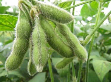 Czy soja może być efektywnie uprawiana w warunkach klimatu Polski?