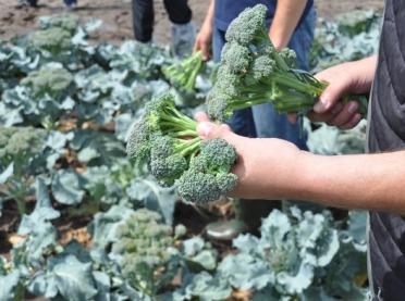 Uprawa brokuła letniego - odmiany