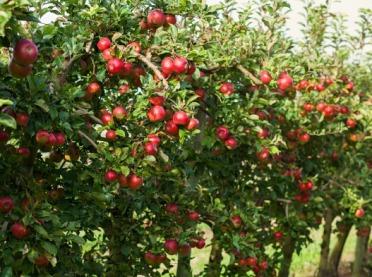 Jak prawidłowo nawozić jabłonie? - Porady dla sadowników