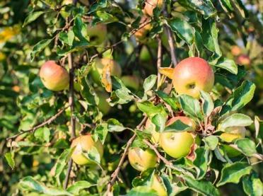 Zakładamy przydomowy sad owocowy