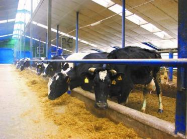 Choroby metaboliczne krów wysokomlecznych