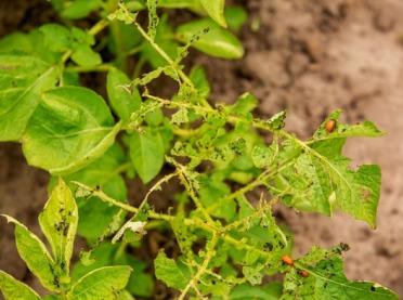 Co sprzyja szkodnikom na plantacjach warzyw?