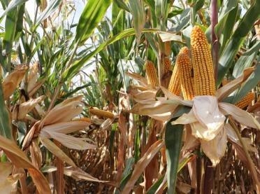 Kukurydza na ziarno - czy to się opłaca?