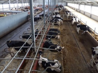 Skąd się biorą krowy rekordzistki?