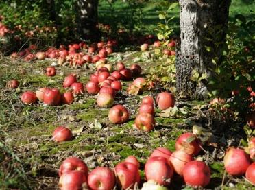 Skup jabłek przemysłowych - czy wszystko idzie zgodnie z planem?