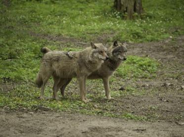 Nie taki wilk straszny, czyli o populacji wilków w Polsce