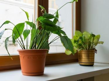 Trujące kwiaty doniczkowe - masz je w domu?