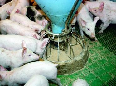 Aminokwasy w paszach dla świń