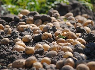 Które ziemniaki najlepiej poradziły sobie z suszą?