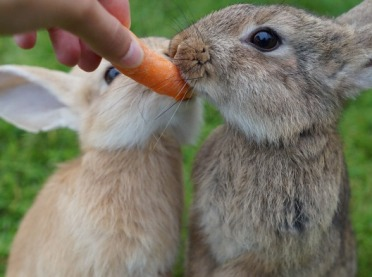 Jak prawidłowo karmić króliki?