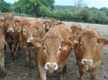 Francuskie bydło mięsne - relacja z targów hodowlanych  SOMMET DE L'ELEVAGE