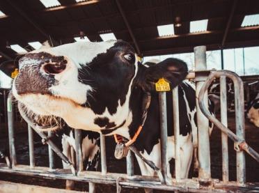 Żywe suplementy w paszach poprawiają płodność u krów!