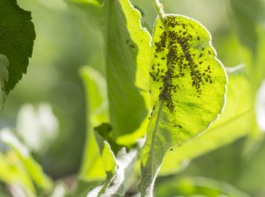 Mszyce, skoczki i ploniarki - szkodniki atakują