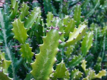 Właściwości kosmetyczne kaktusa
