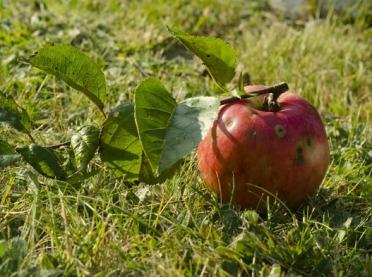 Walka z parchem jabłoni zaczyna się jesienią