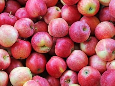 Rekordowe zbiory jabłek w UE