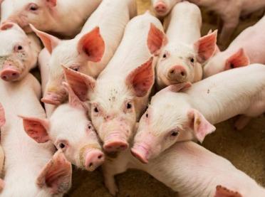 Synbiotyki w żywieniu trzody chlewnej i drobiu