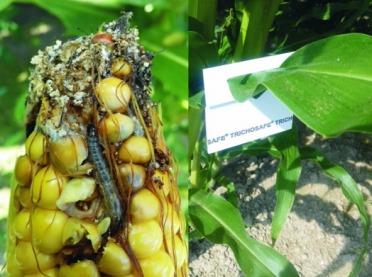 Kruszynek w kukurydzy mile widziany