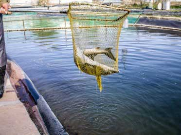 Czy i w jaki sposób rolnik może zostać producentem ryb?