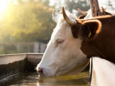 Ile wody potrzebuje krowa?