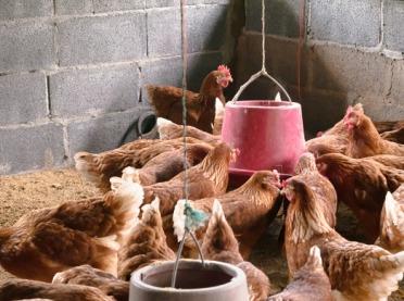 Czym karmić kury zimą, aby jaja były smaczne?