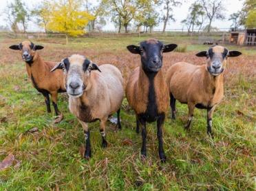 """Afrykańskie """"futrzaki"""", czyli owce kameruńskie"""