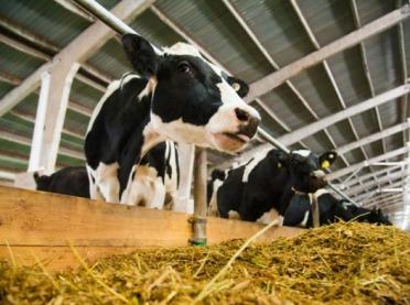 Dlaczego warto obserwować krowy?