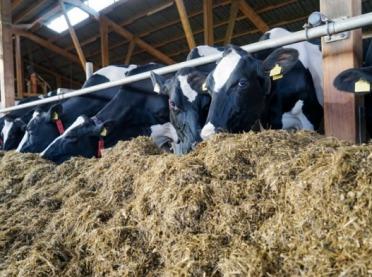 Krowy po wódce - dlaczego ważna jest dobra kiszonka?