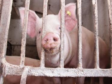 Pryszczyca u świń - zapobieganie i zwalczanie