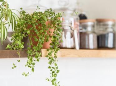 Jakie kwiaty doniczkowe wybrać do kuchni?