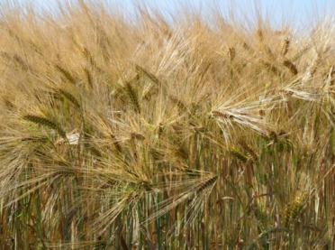 Kalkulacje rolnicze - jęczmień jary