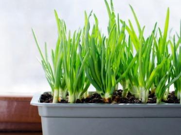 Nowalijki i zioła z własnego parapetu