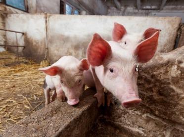 Najlepsze, polskie rasy świń
