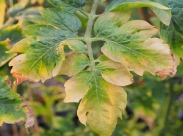 Niedobór składników pokarmowych u roślin – jak rozpoznać?