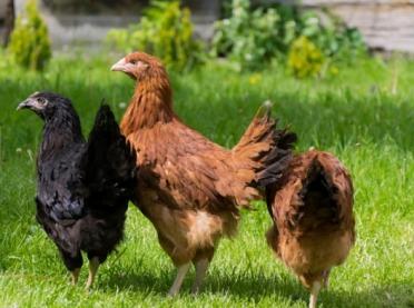 Jak rozpocząć przydomowy chów kur?