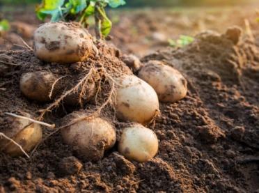 Zarejestrowano 5 nowych odmian ziemniaka