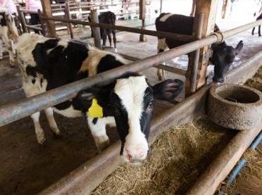 Dopłaty do krów po 2020 r. - ministerstwo wyjaśnia!