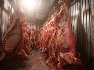 Przerabiali mięso chorych krów – ubojnia zamknięta!