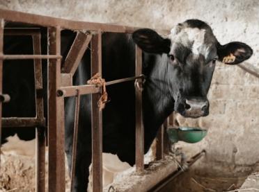 WAŻNE - Choroba szalonych krów znów w Polsce!