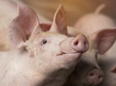 Trudny czas także dla producentów świń w USA