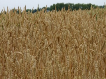 Kalkulacje rolnicze - pszenica jara