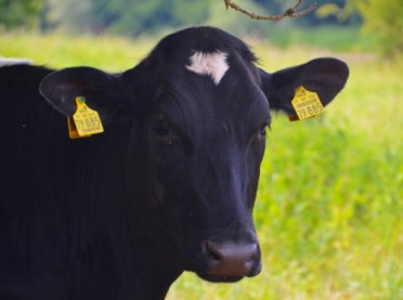 Krowy mają większy wpływ na środowisko niż samochody?