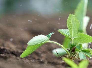 Nawożenie i pielęgnacja truskawek - co warto wiedzieć?