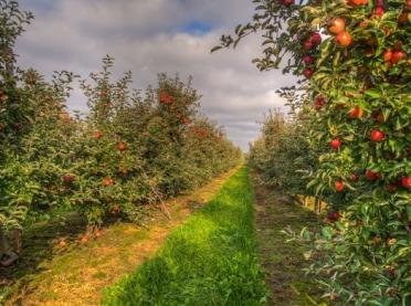 Jak chronić owoce w sadach przed poparzeniem słonecznym?