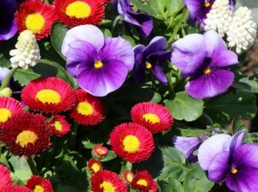 Pierwsze wiosenne kwiaty do domu, ogrodu i na taras
