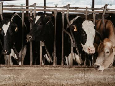 Choroby wirusowe w stadach bydła