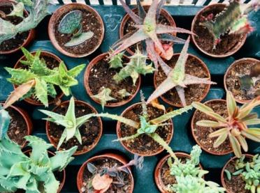 Sukulenty - wprowadź do domu odrobinę zieleni