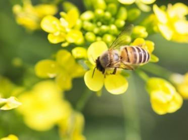 Chemiczne środki ochrony roślin a bezpieczeństwo pszczół